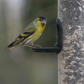 Siskin Saturday…