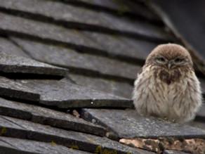 Little Owls!