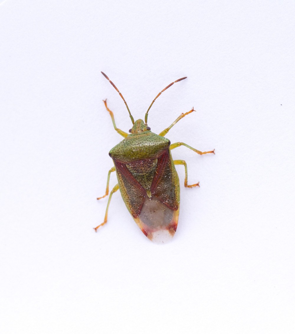 hawthorn Shield Bug-7834