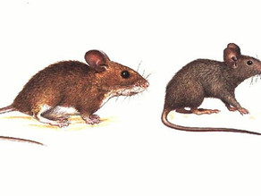 House Mouse and Wood Mouse