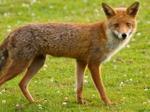 Fox cam offline
