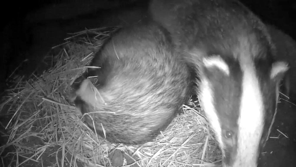 badger-sett-chamber-2-badgers-30th-sept_00008