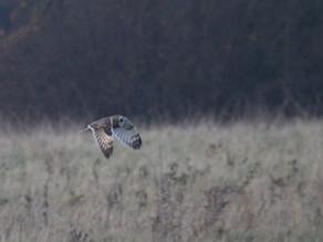 Short-eared Owl Encounter