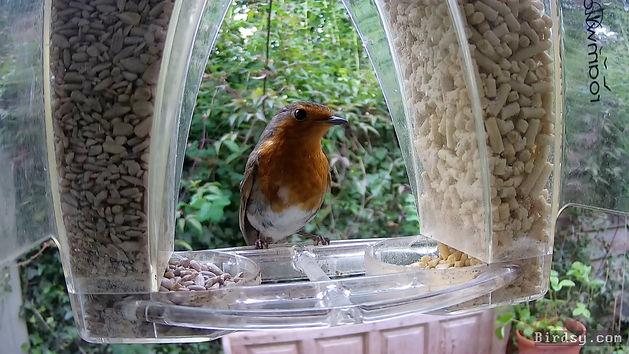 Blue Tit and European Robin - 10 Jun 202