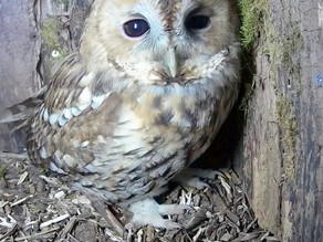 Cracking Daylight Tawny Footage this week!
