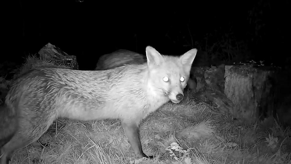 Close up fox & badger_00000