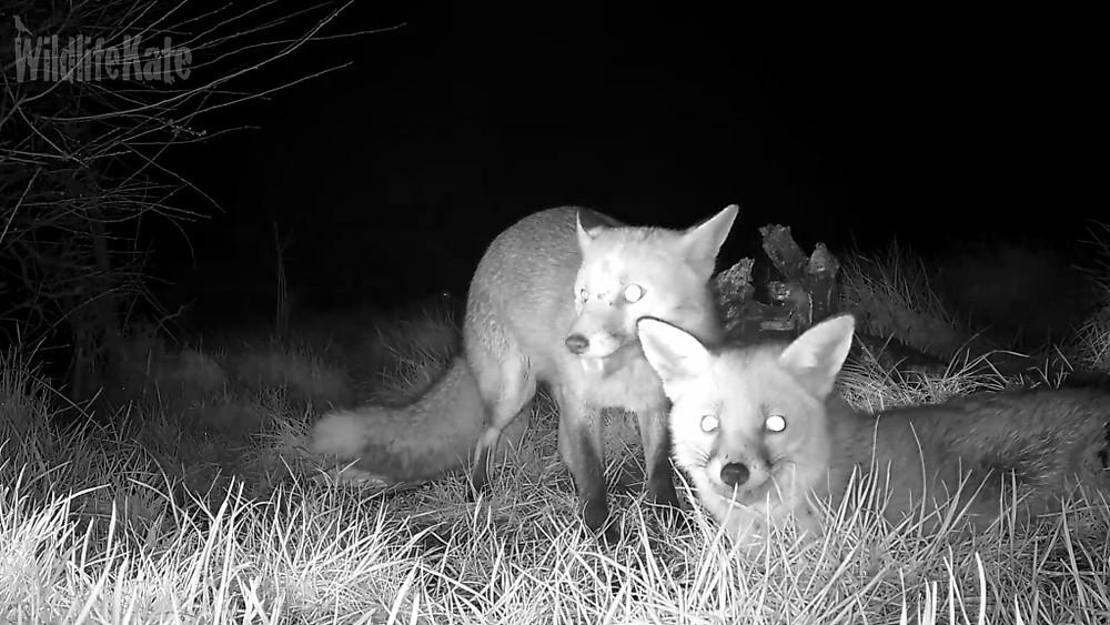 2 foxes Feb 2016_00000