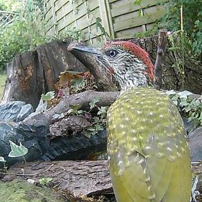 A Green Woodpecker makes a visit!