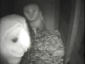 Barn Owl Update