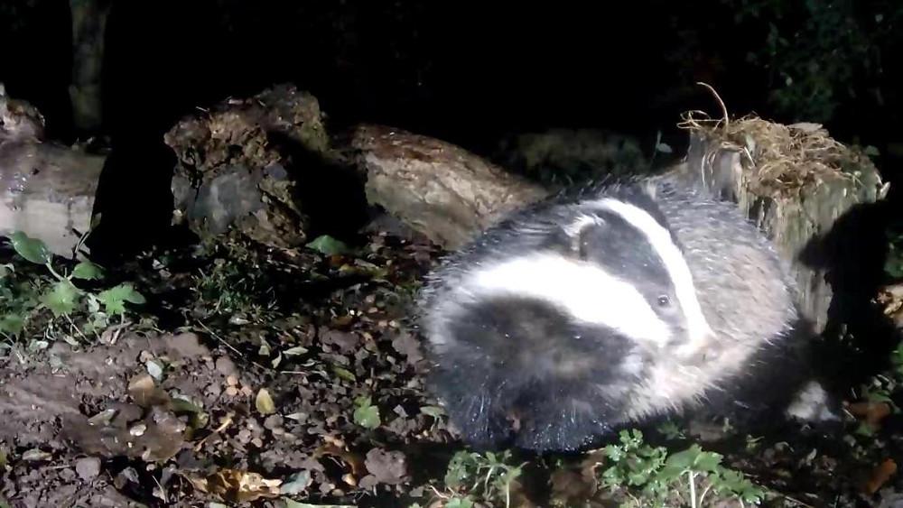 vivotek-badger-feeding-2016-11-08-19-02-49-811