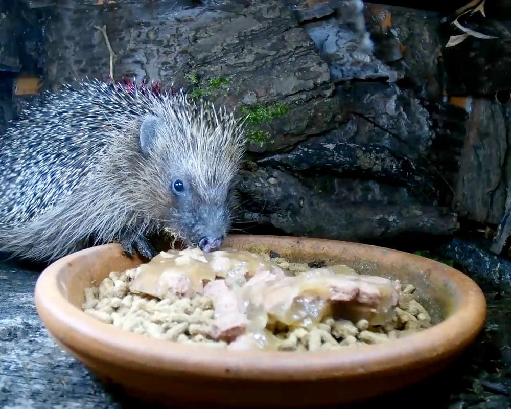 hedgehogs2_00000