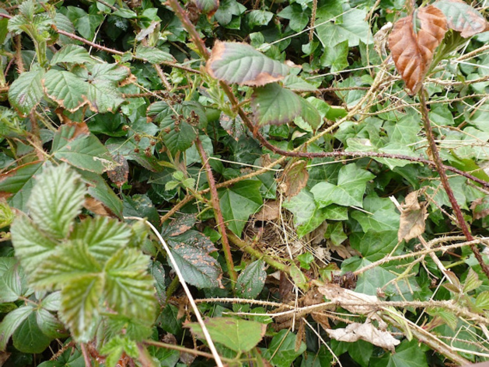 Chiffchaff nest 2