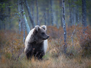 Finland 2019 – The Bears
