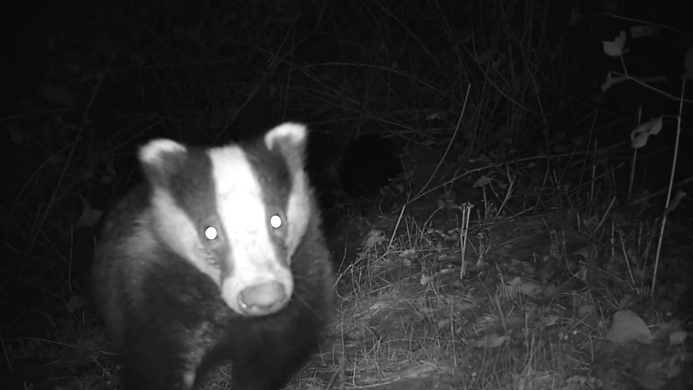badger-licking-camera_00001