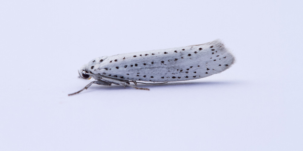 Bird Cherry Ermine-7833