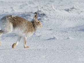 In the Company of Scottish Mountain Hare…..