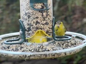 Exciting new addition to the garden AND blackcap and siskin visitors…..