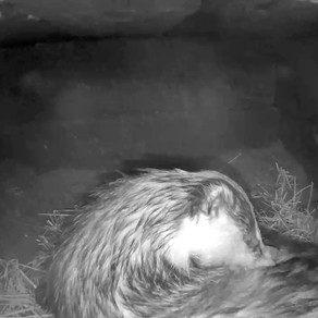 Badgers take a snooze in our sett!