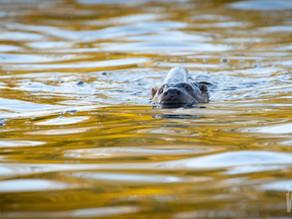 The Elgin Otter