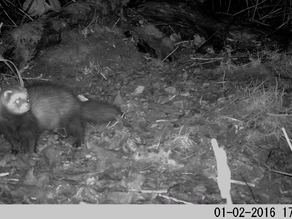 Has the Yew View Polecat taken up residency?