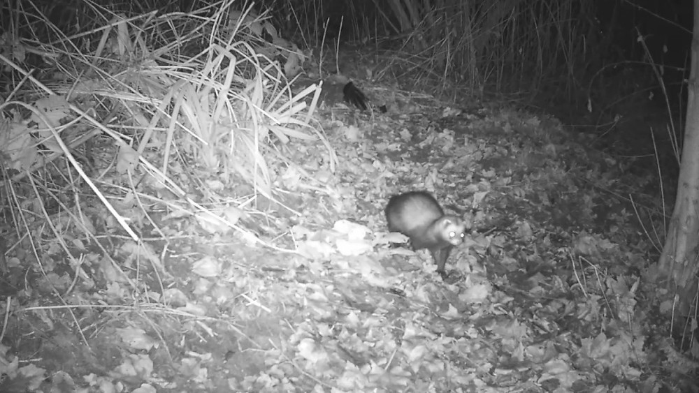 polecat-outside-sett-26th-dec_00000