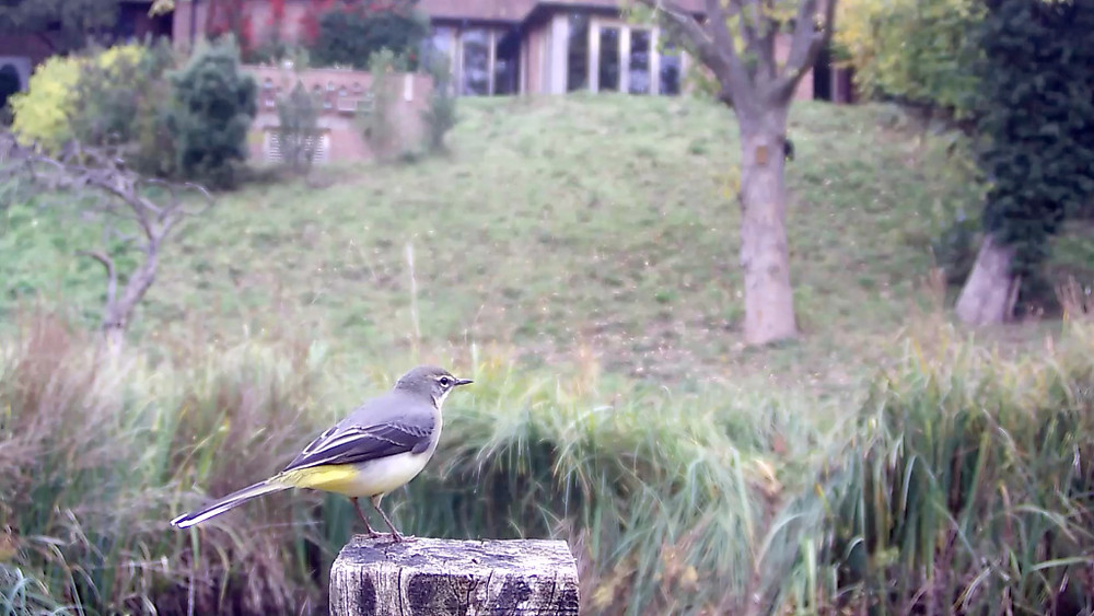 grey-wagtail-oct-25th_00000
