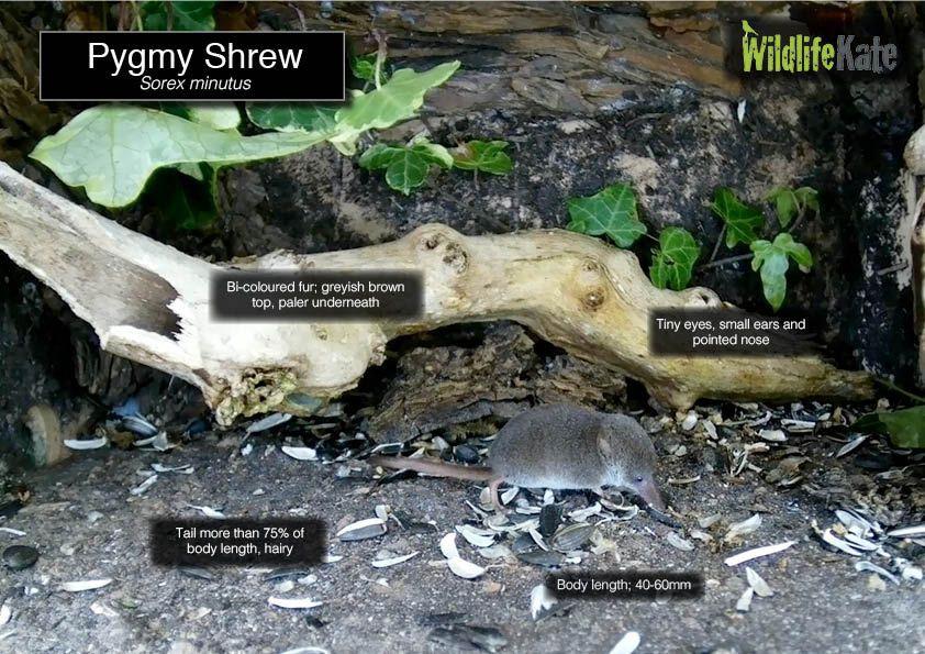 Pygmy Shrew info