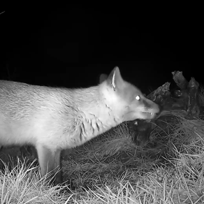 Pregnant Vixens, Jackdaws & my Tawny settles on another egg!