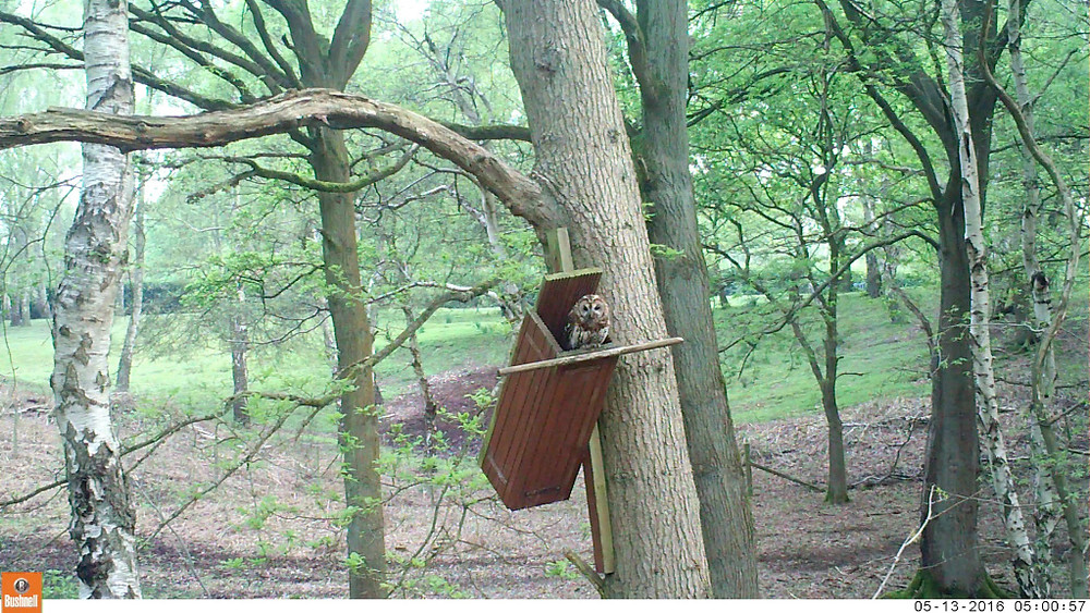 SilverTrees Tawny Adult outside Box 030_00001