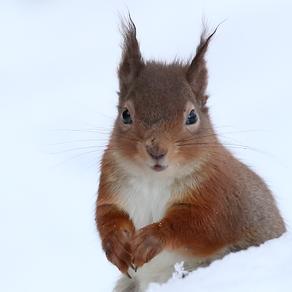 Snowy Red Squirrel Joy!