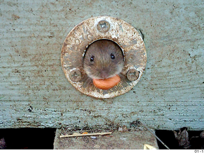 A new Harvest Mouse Cam for YewView