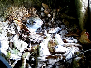 Baby Squirrels, Leucistic Pheasants and the return of the Swallows!