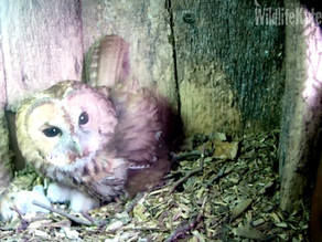We have Yew View Tawny Owlets!