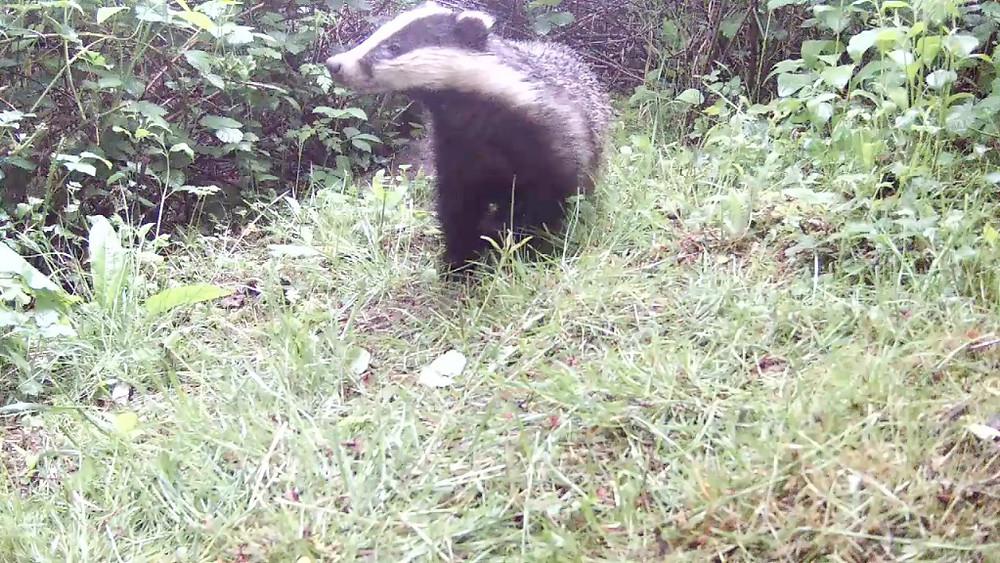 Daytime Badger_Sett2 May 21st 20.27_00003