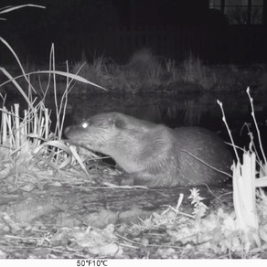 Getting ready for owlets… and otters in the pond!