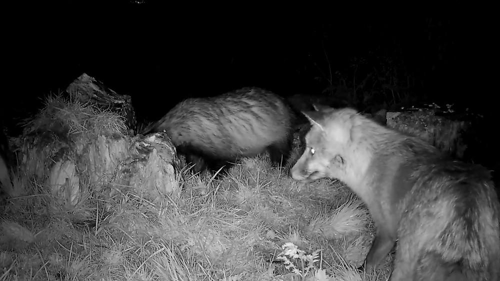 2 badgers plus fox_00001