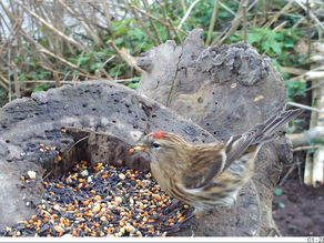Tawny visits, Redpoll & Harvest Mouse Parties!