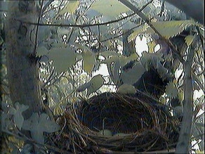 We have two blackbird eggs!