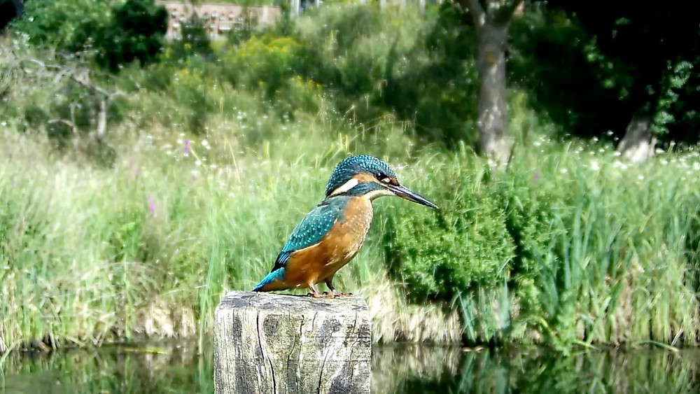 Kingfisher hunting in sunshine_00001
