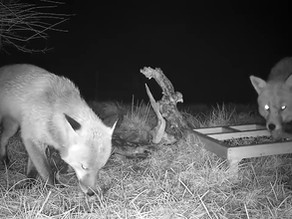 How many foxes are there visiting my cameras?