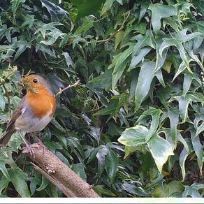 Nest-building Robins…