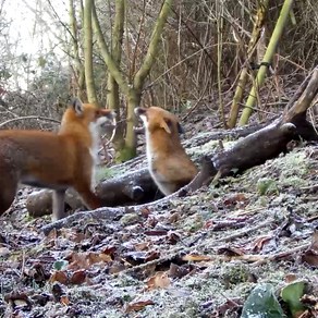 Lots of fox activity at Yew View this week…..
