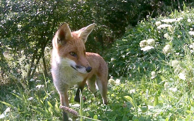 Young fox out of sett 30th Aug 14.27_00002