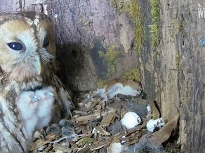 We have owlets!!!!