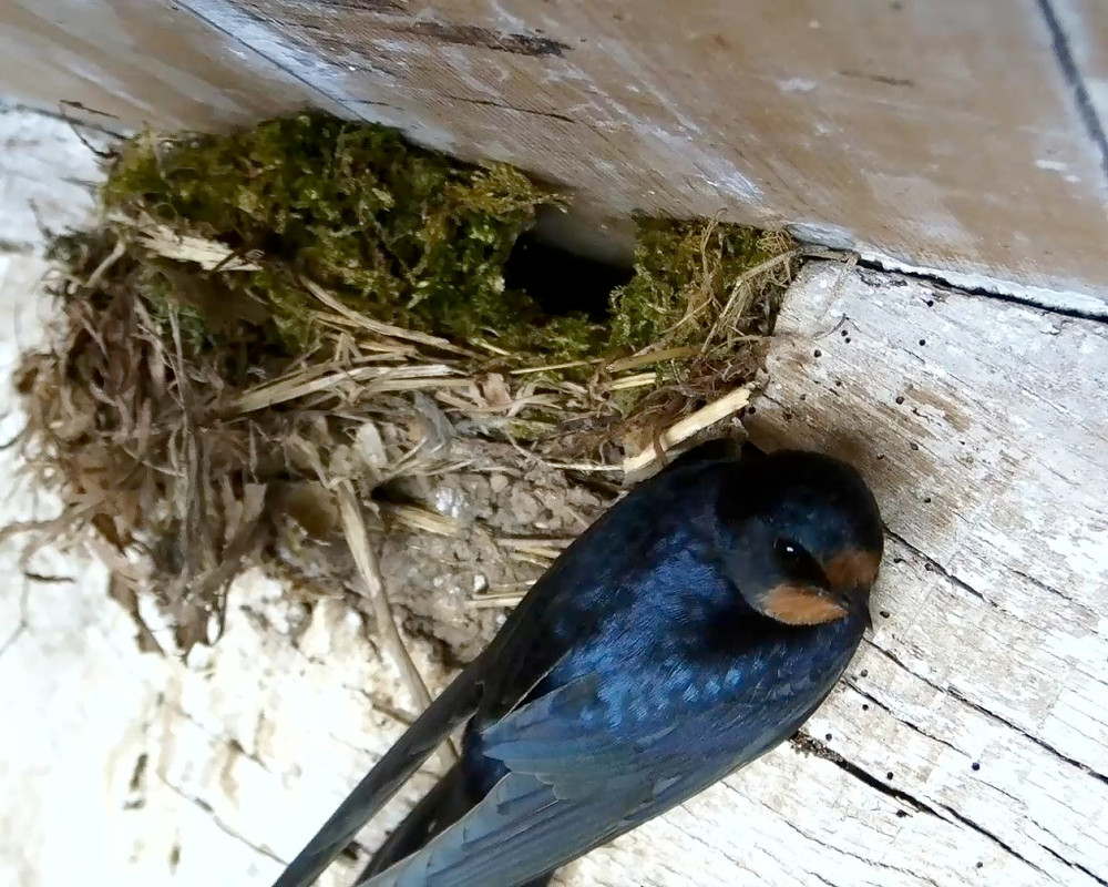 Swallow at Wren Nest 29th April_00001