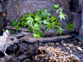 Build a Wood Mouse Stash!