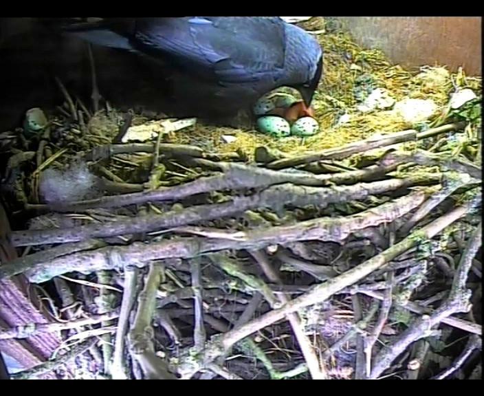 Jackdaw Chicks 9th May 1_00000