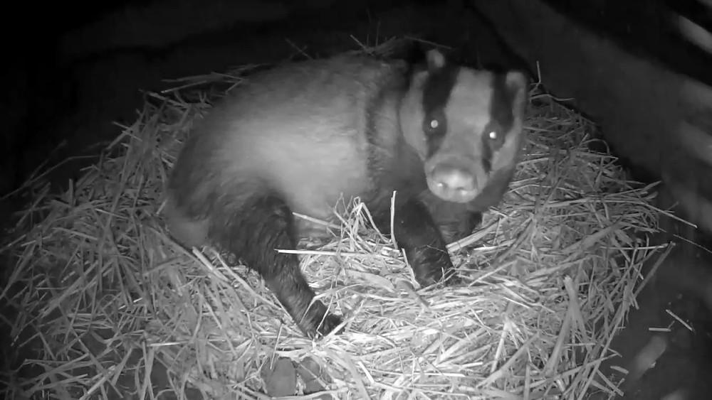 badger-sett-chamber-2-badgers-30th-sept_00000