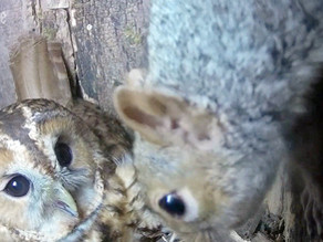 Squirrel visitors in the Tawny Box and Otters in the pond!