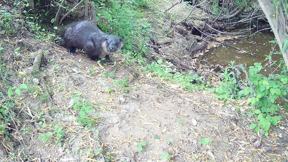 Otter Dog 10th June 6.39am_00000